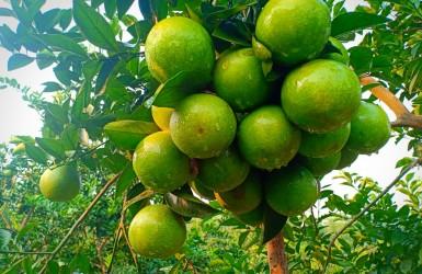 Đặc sản cam giòn Xuân Hòa trên đất Thượng Lộc