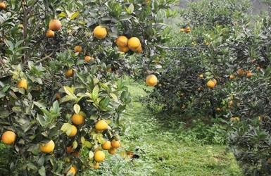 Thăng trầm cây ăn quả có múi ở Hà Tĩnh