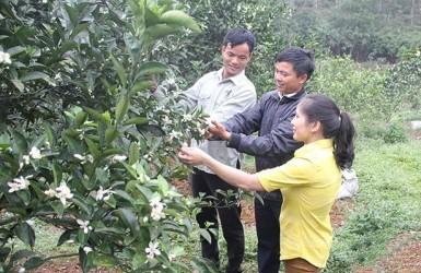 Nỗ lực mang thương hiệu cam Thượng Lộc vươn xa